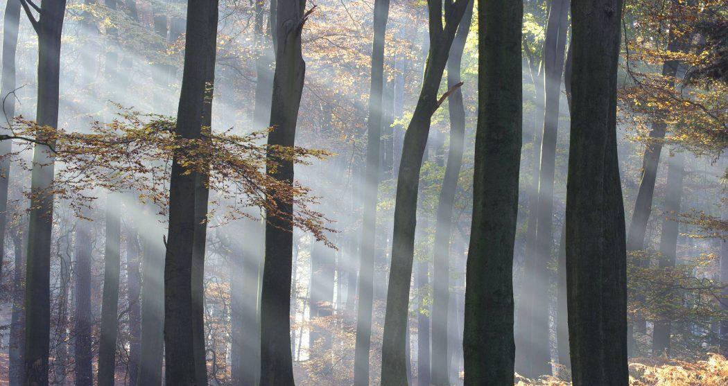 Rotbuche, Rot-Buche, Buche (Fagus sylvatica), Sonnenstrahlen im nebeligen Buchenwald im Herbst, Niederlande, Gelderland